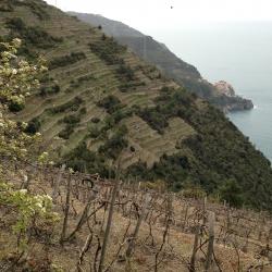 Cinque Terre - Vineyards in Spring